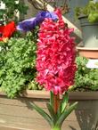 Hyacintha