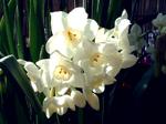 Narcissusa